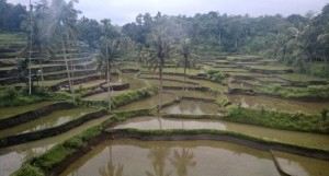 View of rice paddies from Yogyakarta to Bali
