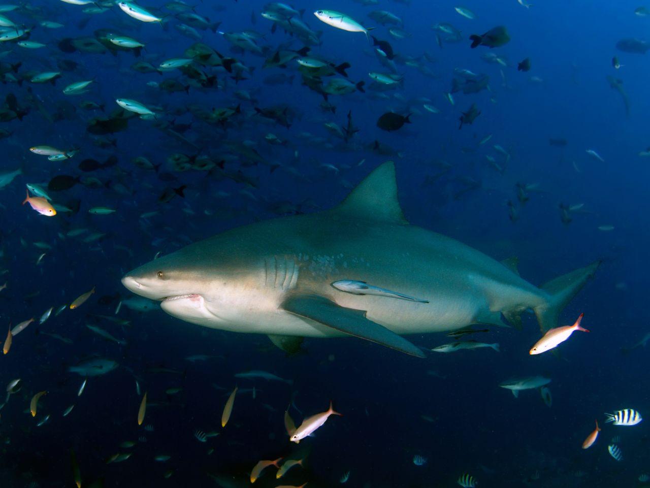 Bukasnukis ryklys - nardymas Fidžyje