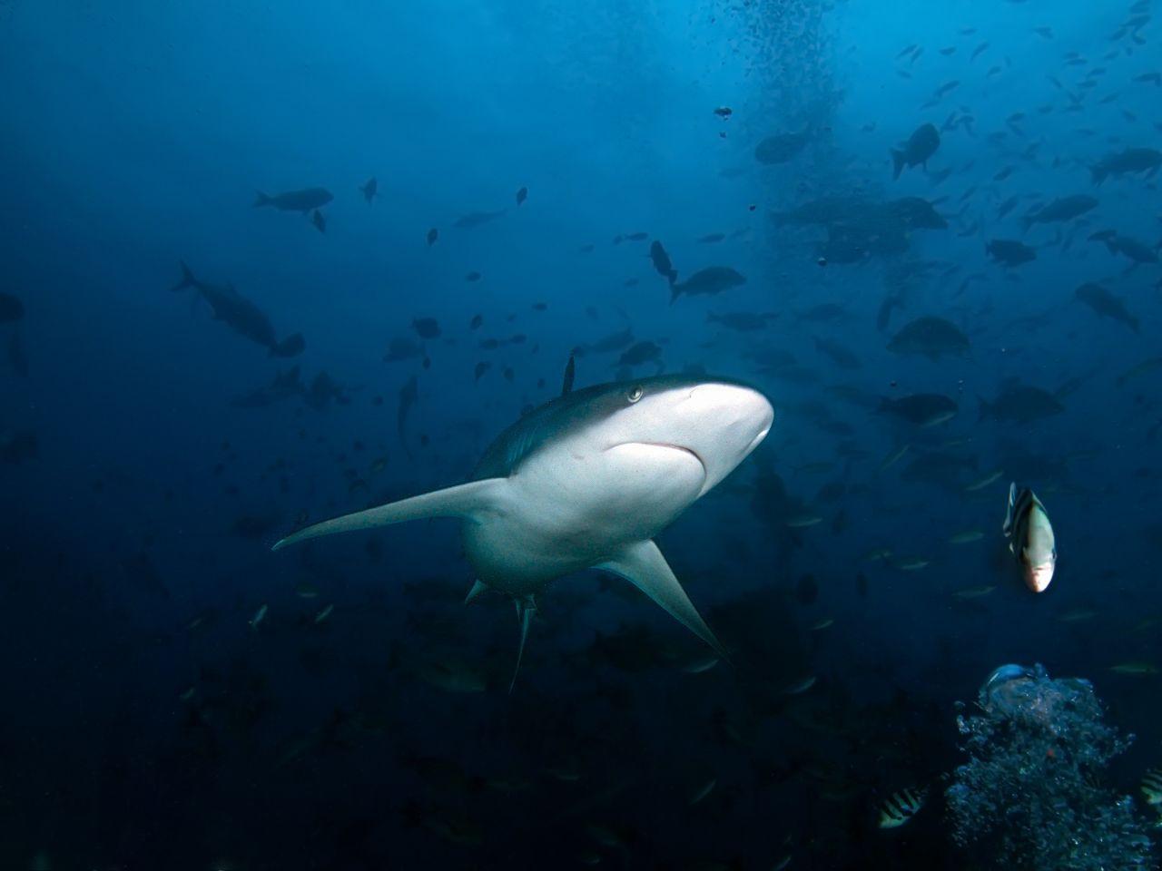 Fidžis - nardymas su rykliais