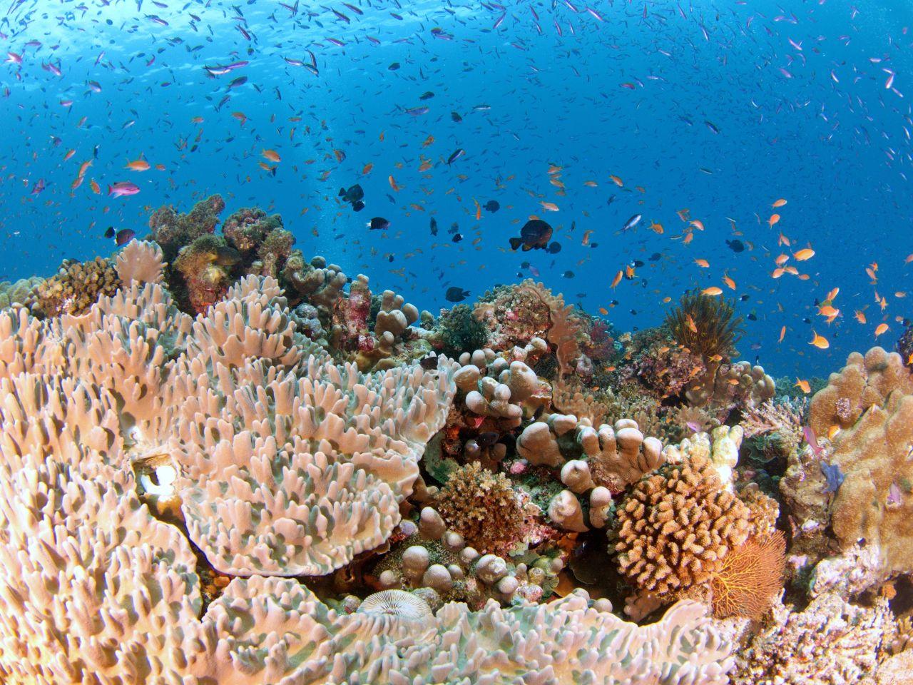 Nardymas Fidžyje - koralai