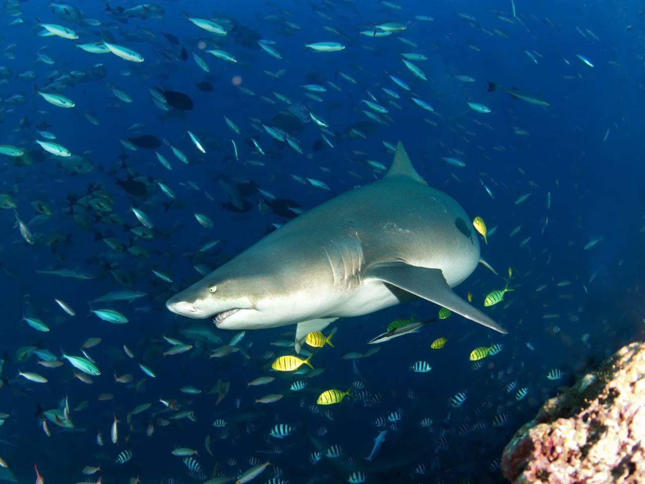 Madagaskarinis aštriadantis ryklys - nardymas Fidžyje