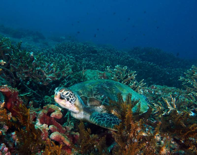 Green turtle - diving in Padang Bai