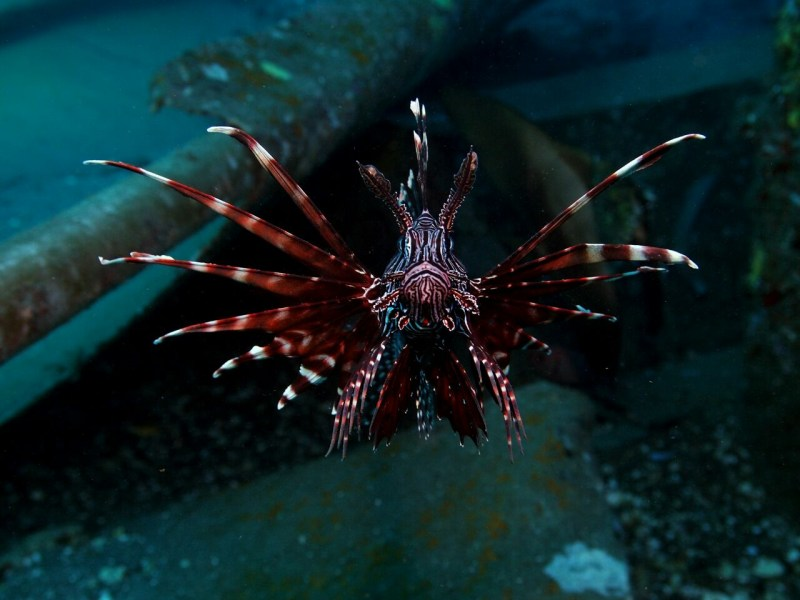 Lion fish - scuba diving in Bali