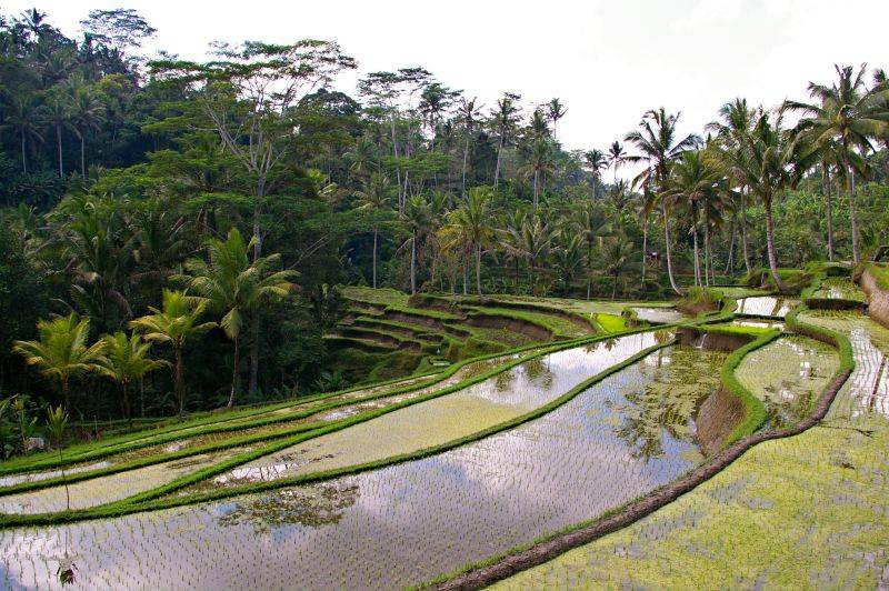 Rice paddies - travel in Bali